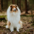 2020-asan-fellow-of-eternity-collie-rough-sable-stud-male_3.jpg