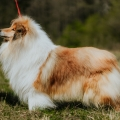 2020-asan-fellow-of-eternity-collie-rough-sable-stud-male_5.jpg