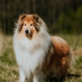 2020-asan-fellow-of-eternity-collie-rough-sable-stud-male_6.jpg