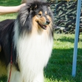 club-show-chropyne-2016-collie-rough-kolia-dlhosrsta 9.jpg