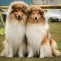 kolia-dlhosrsta-collie-rough-asan-club-winner 11.jpg