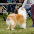 kolia-dlhosrsta-collie-rough-asan-club-winner 5.jpg