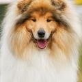 kolia-dlhosrsta-collie-rough-asan-club-winner 8.jpg