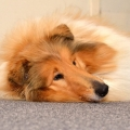 kolia-dlhosrsta-canisterapia-v-skole-collie-rough-canistherapy-in-school 6.jpg