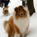 kolia-dlhosrsta-turistika-tura-na-klak-collie-rough-winter 11.jpg
