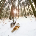 kolia-dlhosrsta-turistika-tura-na-klak-collie-rough-winter 13.jpg