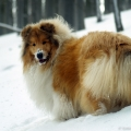 kolia-dlhosrsta-turistika-tura-na-klak-collie-rough-winter 16.jpg