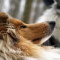 kolia-dlhosrsta-turistika-tura-na-klak-collie-rough-winter 19.jpg