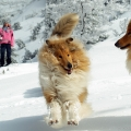 kolia-dlhosrsta-turistika-tura-na-klak-collie-rough-winter 25.jpg