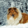 kolia-dlhosrsta-turistika-tura-na-klak-collie-rough-winter 30.jpg