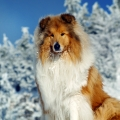 kolia-dlhosrsta-turistika-tura-na-klak-collie-rough-winter 31.jpg