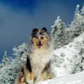 kolia-dlhosrsta-turistika-tura-na-klak-collie-rough-winter 32b.jpg