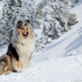 kolia-dlhosrsta-turistika-tura-na-klak-collie-rough-winter 36.jpg