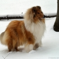 kolia-dlhosrsta-turistika-tura-na-klak-collie-rough-winter 37.jpg