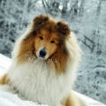 kolia-dlhosrsta-turistika-tura-na-klak-collie-rough-winter 39.jpg