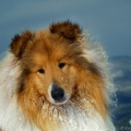 kolia-dlhosrsta-turistika-tura-na-klak-collie-rough-winter 4.jpg