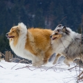 kolia-dlhosrsta-turistika-tura-na-klak-collie-rough-winter 6.jpg