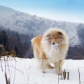 kolia-dlhosrsta-turistika-tura-na-klak-collie-rough-winter 7.jpg