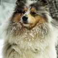 kolia-dlhosrsta-turistika-tura-na-klak-collie-rough-winter 9.jpg