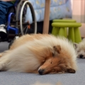 kolia-dlhosrsta-deti-canisterapia-children-canistherapy-collie-rough 8.jpg