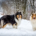 kolia-dlhosrsta-zima-collie-rough-winter 11.jpg