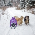 kolia-dlhosrsta-zima-collie-rough-winter 13.jpg