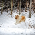 kolia-dlhosrsta-zima-collie-rough-winter 14.jpg
