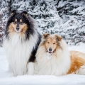 kolia-dlhosrsta-zima-collie-rough-winter 15.jpg