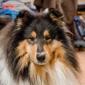 kolia-dlhosrsta-zima-collie-rough-winter 17.jpg