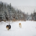 kolia-dlhosrsta-zima-collie-rough-winter 2.jpg