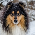 kolia-dlhosrsta-zima-collie-rough-winter 3.jpg