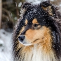 kolia-dlhosrsta-zima-collie-rough-winter 4.jpg
