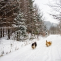kolia-dlhosrsta-zima-collie-rough-winter 5.jpg