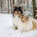kolia-dlhosrsta-zima-collie-rough-winter 7.jpg