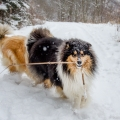 kolia-dlhosrsta-zima-collie-rough-winter 8.jpg