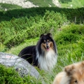 kolia-dlhosrsta-tatry-collie-rough-in-nature 34.jpg