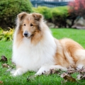kolia-dlhosrsta-jesen-collie-rough-autumn 6.jpg