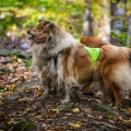 kolia-dlhosrsta-jesen-collie-rough-autumn 9.jpg