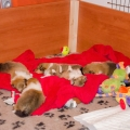 35w-c-litter-fellow-of-eternity-collie-puppies 1.jpg
