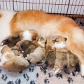 35w-c-litter-fellow-of-eternity-collie-puppies 2.jpg