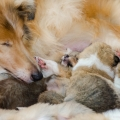35w-c-litter-fellow-of-eternity-collie-puppies 5.jpg