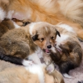 35w-c-litter-fellow-of-eternity-collie-puppies 7.jpg