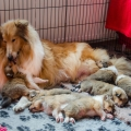 35w-c-litter-fellow-of-eternity-collie-puppies 8.jpg
