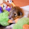 d-litter-fellow-of-eternity-collie-puppies-2w 1.jpg