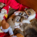 d-litter-fellow-of-eternity-collie-puppies-2w 10.jpg
