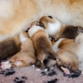 d-litter-fellow-of-eternity-collie-puppies-2w 11.jpg