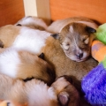 d-litter-fellow-of-eternity-collie-puppies-2w 3.jpg