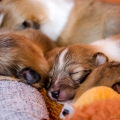 d-litter-fellow-of-eternity-collie-puppies-2w 5.jpg