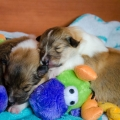 d-litter-fellow-of-eternity-collie-puppies-2w 9.jpg