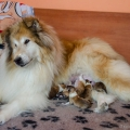 d-vrh-kolia-dlhosrsta-steniatka-collie-rough-puppies 1.jpg